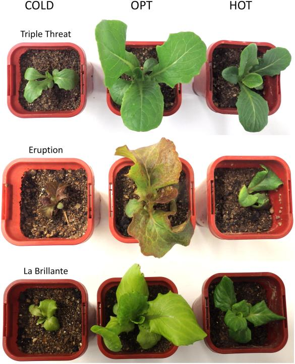 non-destructive-pheno-of-lettuce-blog-pic