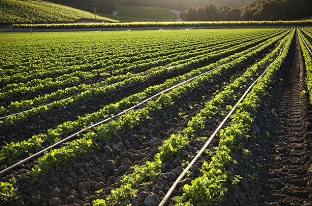 Field-crop-AdobeStock_67217957-(sm)