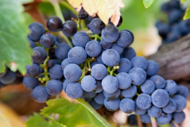 Grapes-on-vine-for-blog