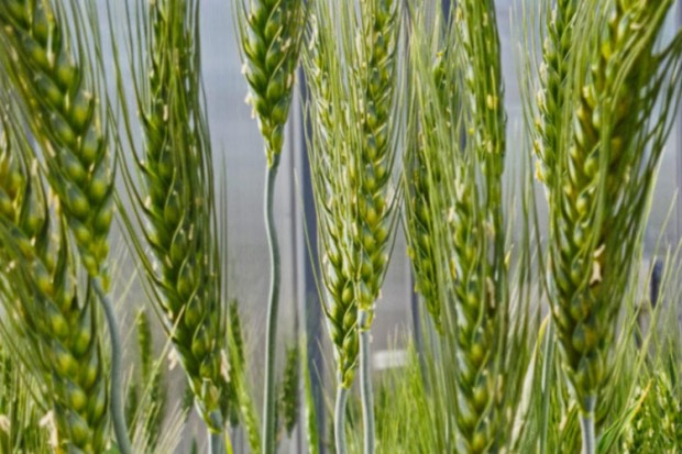 wheat-close-up